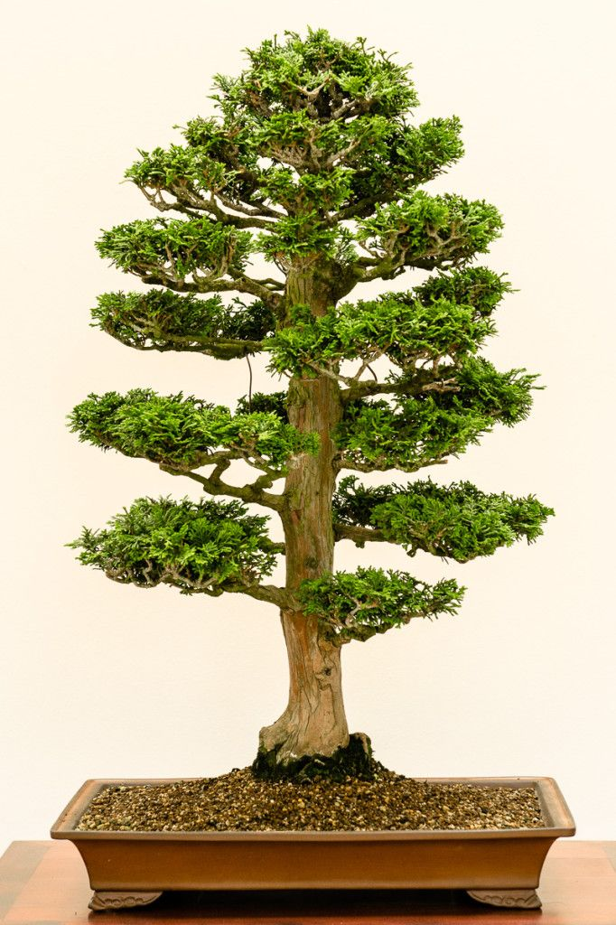 Muschelzypresse - Chamaecyparis obtusa als Bonsai