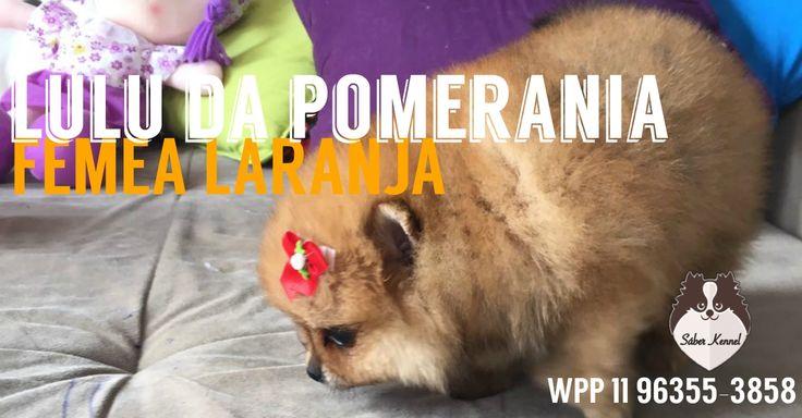 DISPONÍVEL Spitz Alemão (Lulu da Pomerânia) laranja, fêmea wpp 1196355 3858