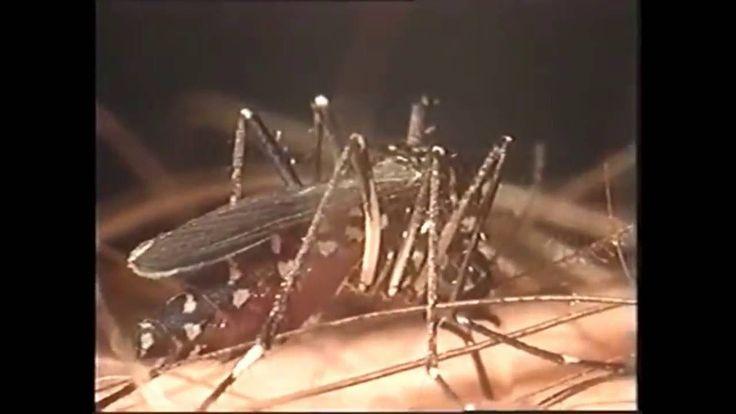 Doc  Mosquitos