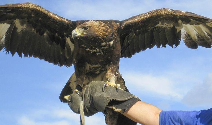 Golden Eagle Hunting Festival Reistip - GlobeHopper