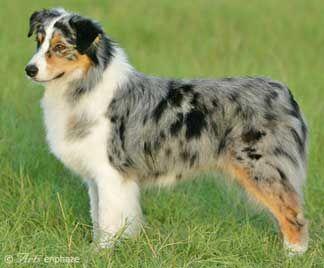 """Cowboy"" - My boys first dog. Very smart. (Blue Australian Shepard)"