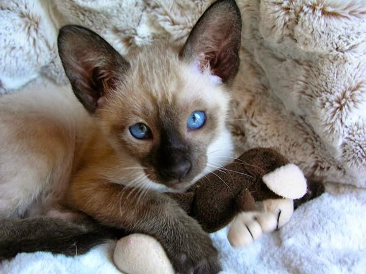 Seal Point Siamese Kitten | Siamese | Cats, Siamese kittens, Siamese