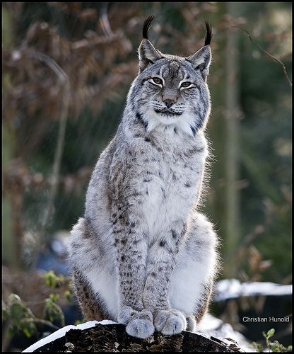 Lynx. This cat just looks like he knows everything.