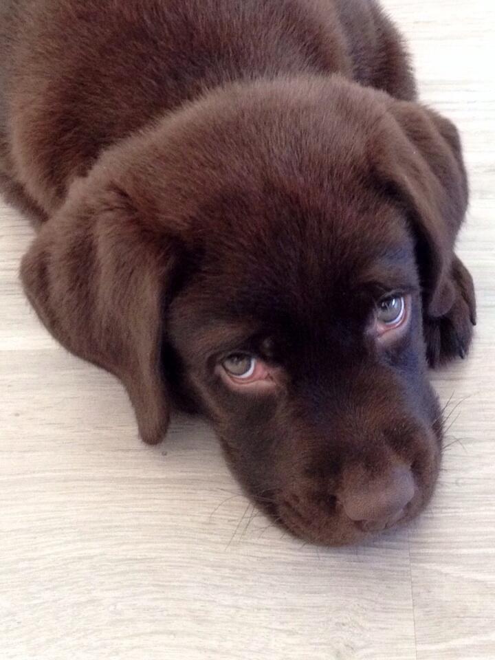9 weeks old #labrador #pup
