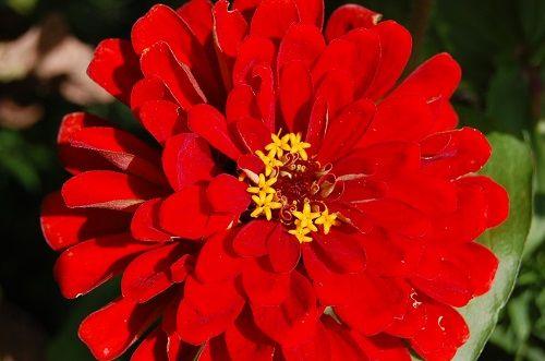Zinnia flower photo by Patty Sue O'Hair Vicknair.