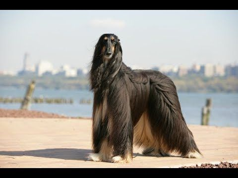 Youtube Afghan Hound Dog Breed Amazing Facts Hound Dog Breeds