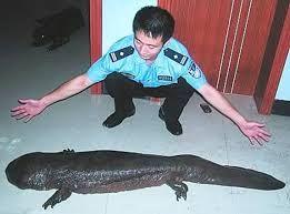 Risultati immagini per salamandra gigante