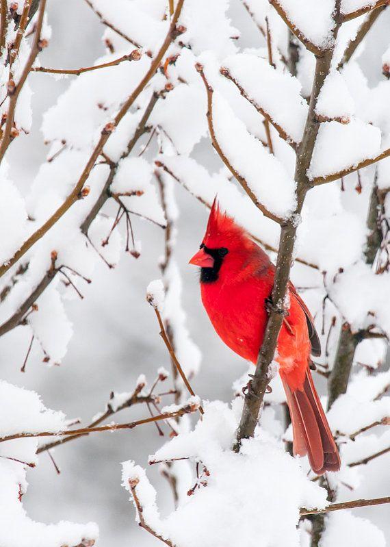 winter cardinal bird photo 5x7 fine art photographic by greenpix, $10.00