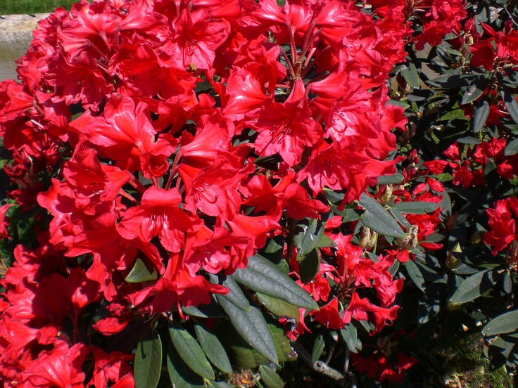 "RED ""RODODENDRO"""