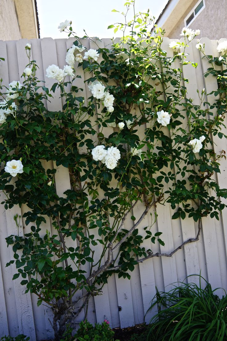 Ho/how to take care of climbing roses for winter - Climbing Iceberg
