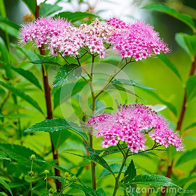 Spiraea Bumalda Flower - Download From Over 25 Million High Quality Stock Photos, Images, Vectors. Sign up for FREE today. Image: 43142926