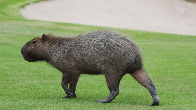 Capybaras are large rodents that are native to South America. But now, there's concern they may be establishing themselves as an invasive species in Florida.