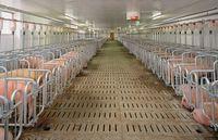 Las presiones que vienen para la producción de cerdos | Agromeat