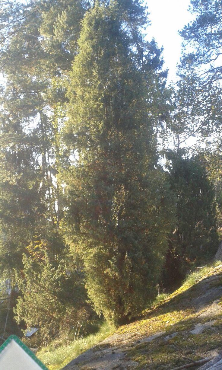 Kataja (Juniperus communis)20.9 Sekametsä