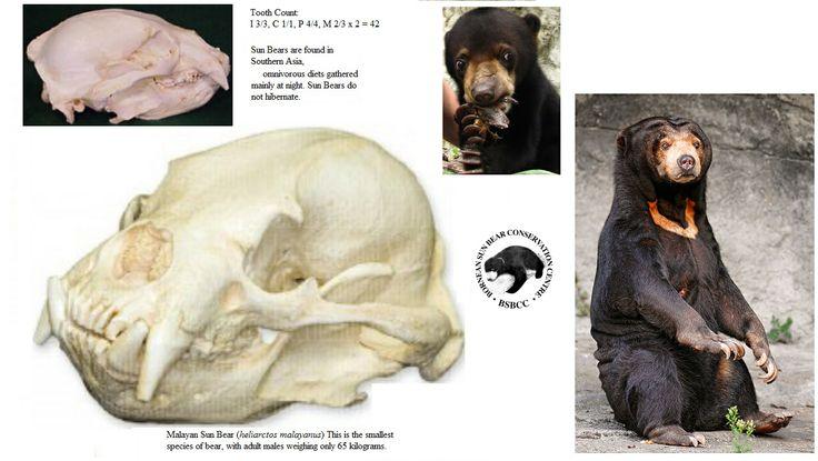 Zuid oost  aziatische zonnebeer /Honing beer
