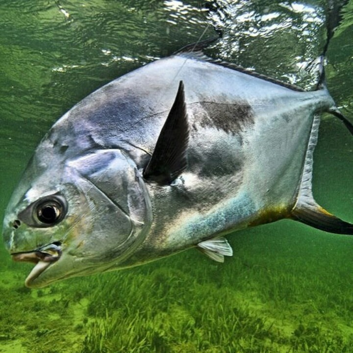 Permit fly fishing pinterest fish saltwater for Permit fly fishing