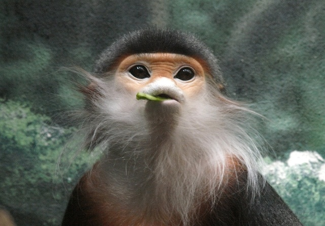 Beardy Monkey: The Bearded Smoking Monkey