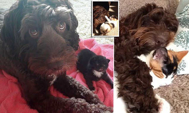 Cockapoo Rescued From Puppy Farm Becomes Surrogate Mum To Kittens Cockapoo Rescue Kittens Puppies