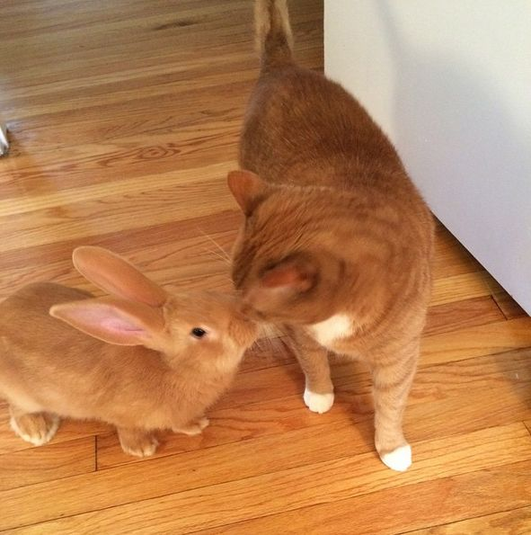 chat lapin géant des flandres