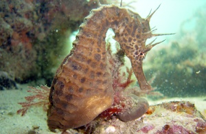 A Sea Horse posing for the camera, aren't they cute! Best thing yet is that they are just a slash away from my office :-)