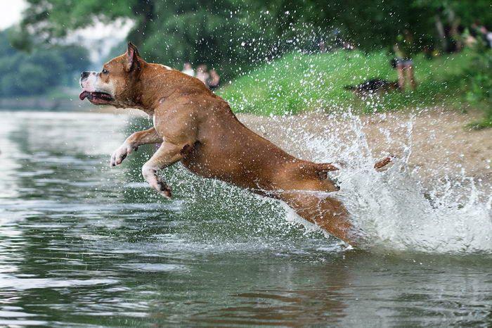 Американский стаффордширский терьер (American Staffordshire Terrier)