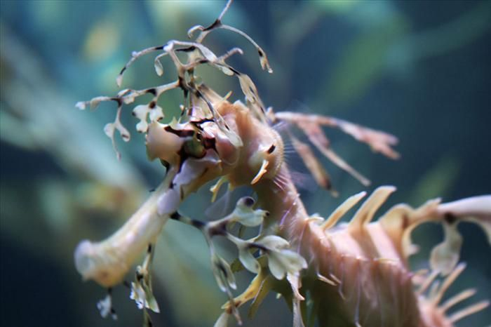 Um close-up de um dragão-marinho-folhado.