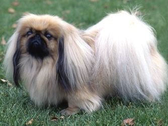 """The Pekingese, or """"Peke"""" is an ancient breed of toy dog, originating in China. The breed was favored by the Chinese Imperial court, and its name refers to the city of Beijing where the Forbidden City resides"""