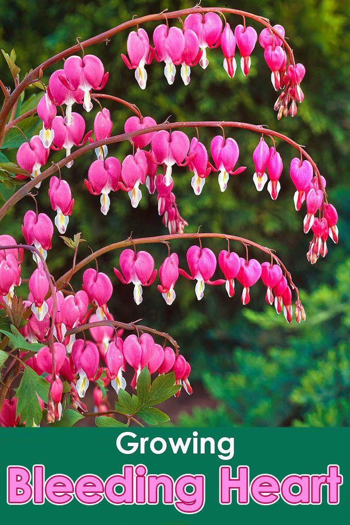 The Article To Suit Your Needs If You Enjoy Flower Gardens Don T Ignore The Following Tips Flowergardens Bleeding Heart Plants Bleeding Heart Flower