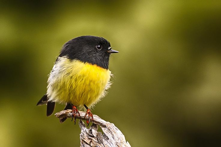 Tomtit. Male South Island tomtit front view. Temple Stream South ...