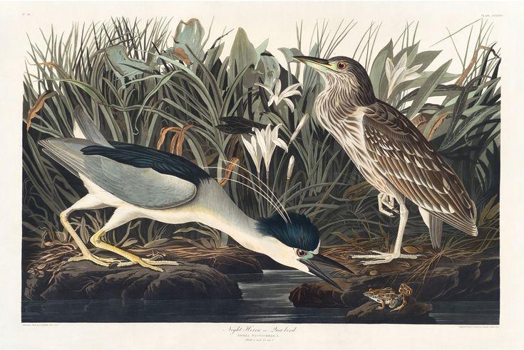 Rare Prints Night Heron