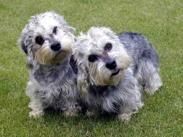 Dandie Dinmont Terrier | Most Adorable Breed Ever