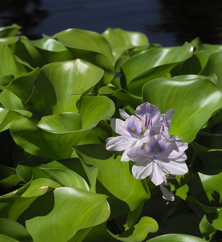Water hyacinth pond plant pond plants pinterest for Aquatic pond plants