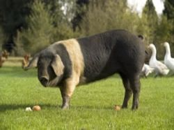 Shabden Park Farm near Chipstead in #Surrey rears rare-breed pigs, Sussex Red cattle and free-range lamb a mutton, as well as selling a range of complementary food from its on-site shop and farmers' market: http://localfoodbritain.com/surrey/shops/farm-shops/shabden-park-farm-chipstead-mutton/