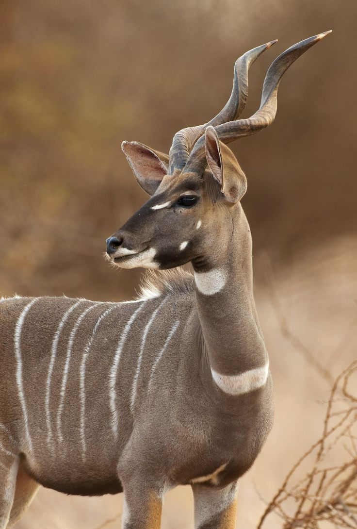 The Lesser Kudu is native to Ethiopia