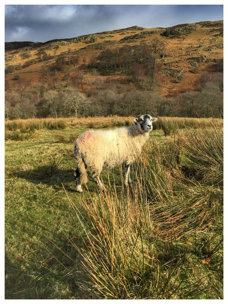 Sheep from up close. Penrith, Dockray. Lake District