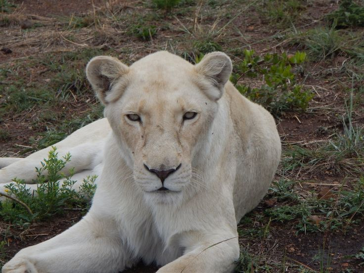 south africa animal white lion 2