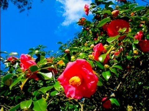 [HD]伊豆大島の椿と大島桜 Camellia in Oshima island 花の名所案内
