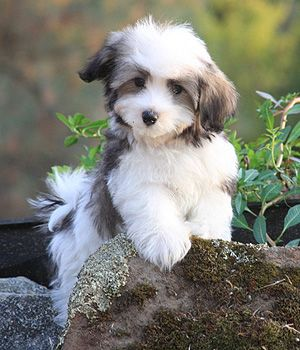 Havanese puppy. The breed is Companionable, Responsive, Intelligent, Playful, Affectionate, Gentle