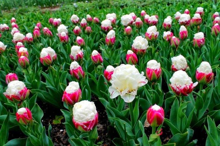 ice cream tulips flowers pinterest. Black Bedroom Furniture Sets. Home Design Ideas