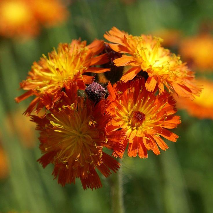 Photo d'Astéracée : Piloselle orangée - Épervière orangée - Pilosella aurantiaca - Hieracium aurantiacum - Fox-and-cubs - Grim-the-collier - Orange Hawkweed - Tawny hawkweed - Devil's paintbrush