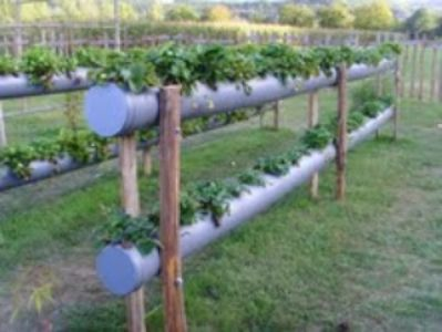 I've always grown my strawberries in hanging baskets or tall pots.  A mate called today and mentioned drain pipes with holes cut into them, how interesting I thought :D  She's since sent