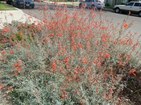 16 best images about california dry creek garden on for Southern california native plants