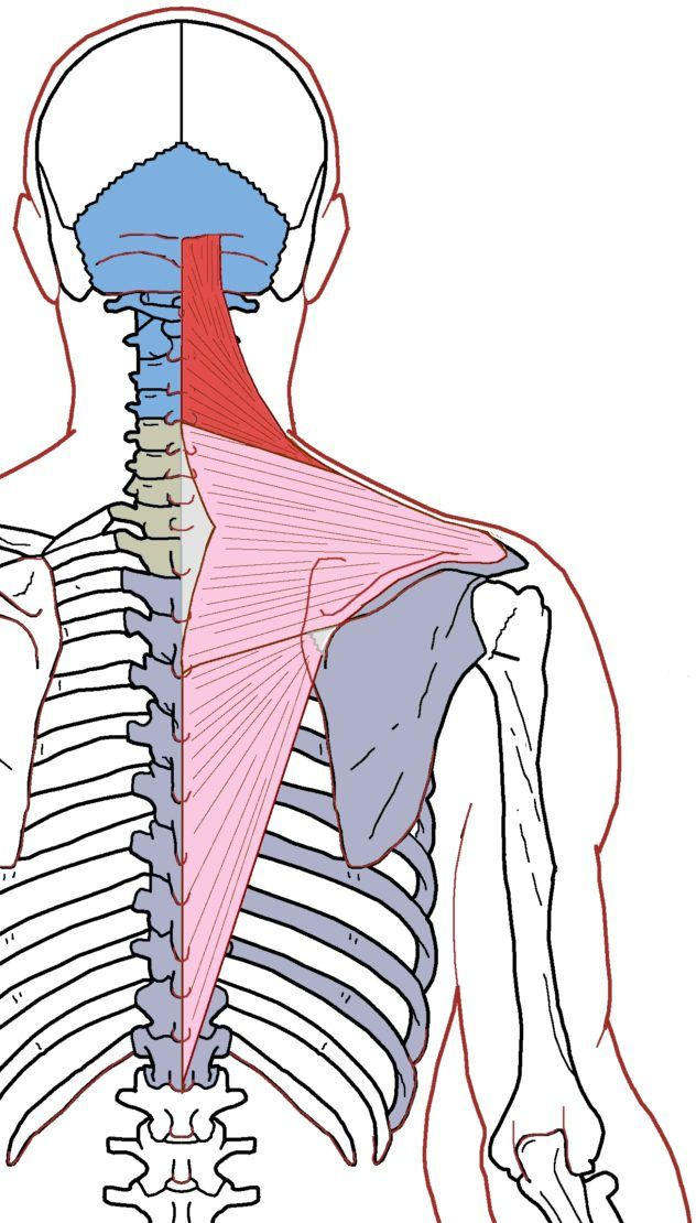 Trapezius The trapezius is a triangular muscle that connects the occiput, cervical vertebrae, and thoracic vertebrae to the shoulder girdle through the ribs, manubrium, and sternum. It has three se…