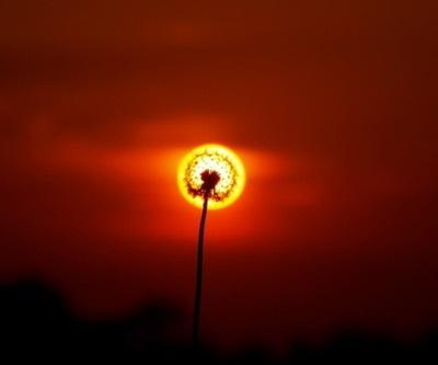 dandelion + sun