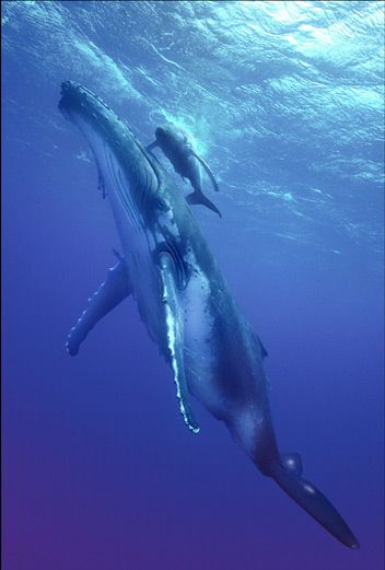 A humpback whale and calf in Tonga. Humpbacks migrate to Tonga's warm waters each year from Antarctica to mate and give birth.