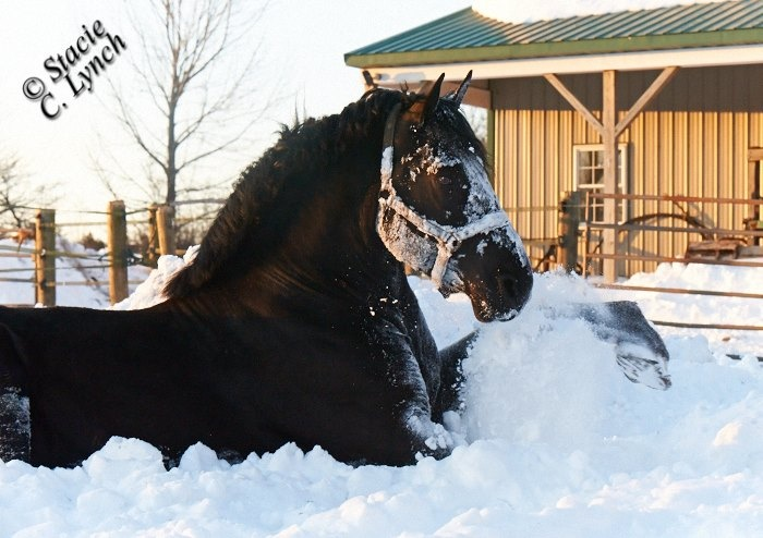 F.P. Icepick, Percheron stallion playing in the snow after Blizzard Nemo, February 10, 2013.