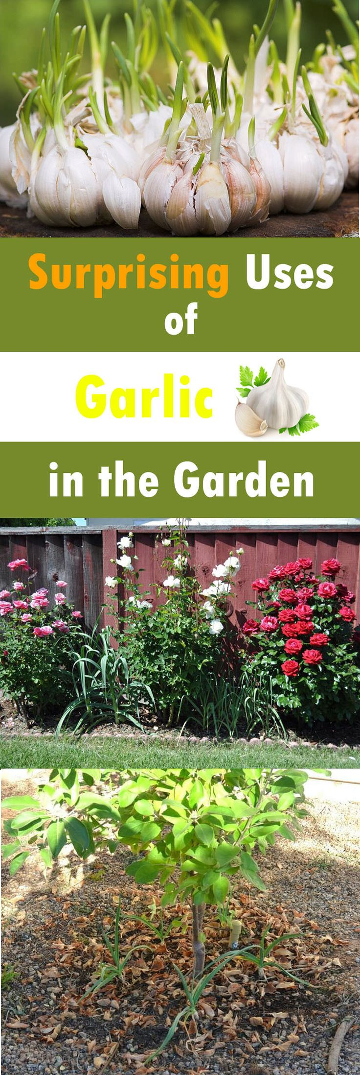 Using garlic in the garden is a great way to save yourself from using harmful chemical pesticides and fungicides as garlic has antibacterial, fungicidal and insecticidal properties.