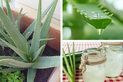 descubre por qu es bueno cultivar aloe vera en casa loe vera pinterest plantes. Black Bedroom Furniture Sets. Home Design Ideas
