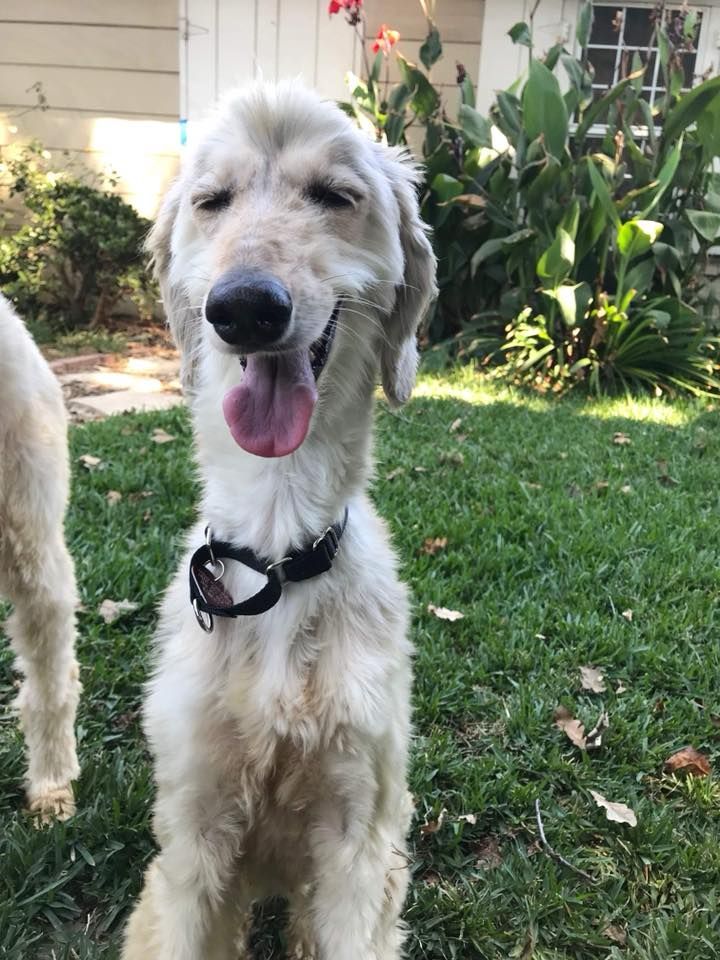 Available For Adoption At Afghan Hound Rescue Southern California