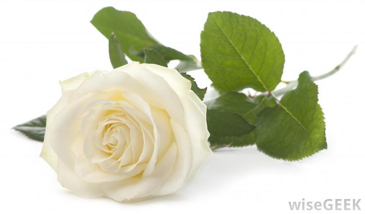http://hhsvoyager.org/wp-content/uploads/2015/09/white-rose-bloom.jpg